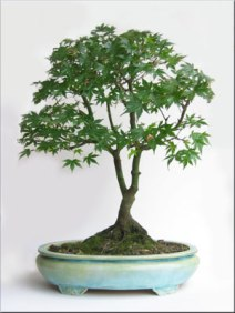 acer-japanese-maple