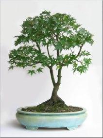 acer-japanese-maple