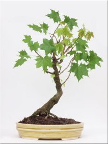 acer-platanoides-norway--maple