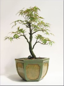 japanese-acer-maple-small