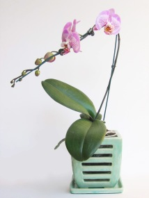 orchid 005