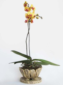 orchid phap in natural pot
