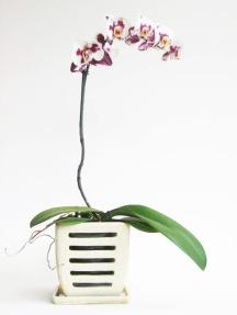 phaleonopsis in oatmeal potb