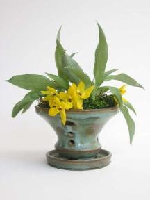 promenea in green pot