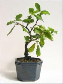 quercus-live-oak
