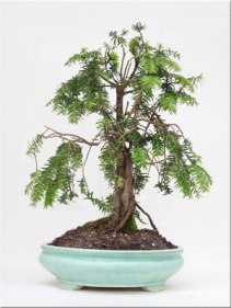 taxus-baccata-yew