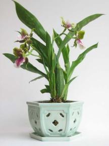 zygopetalum in celadon pot.jpg
